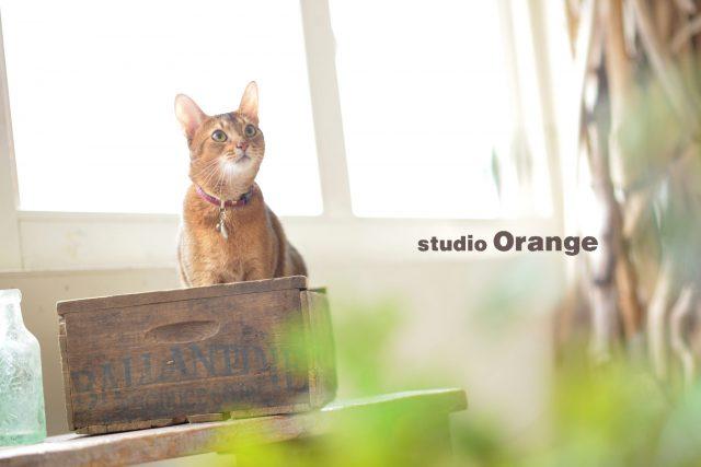 猫 箱入り アビシニアン 奈良 スタジオオレンジ
