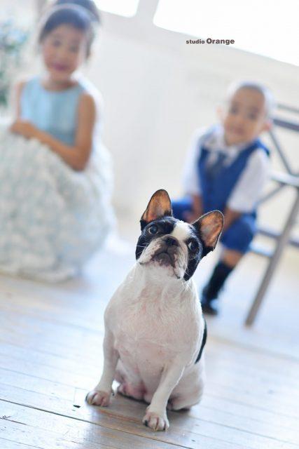 犬 フレンチブル ペット撮影 奈良