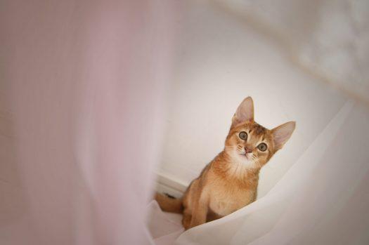 アビシニアン 子猫 ペットフォト 奈良市