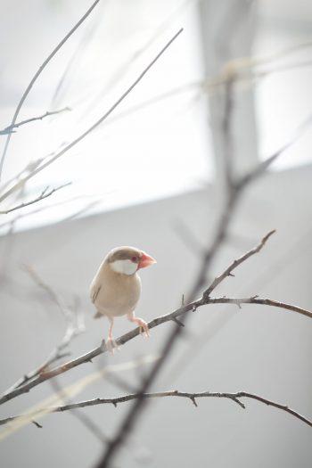 文鳥 ペットフォト 奈良市
