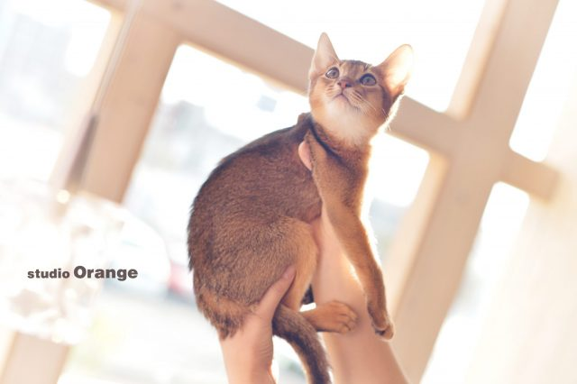 猫 子猫 アビシニアン