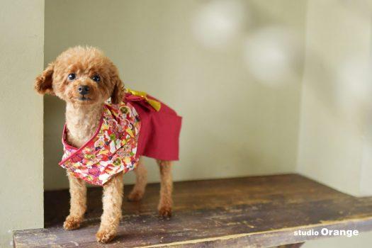 ペット写真 ペット撮影 ワンちゃん トイプードル 奈良市写真館 スタジオオレンジ ペット 奈良県写真館