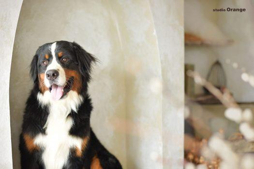 ペットフォト 犬 バーニーズ 大型犬 ペット撮影 動物撮影 フォトスタジオ ペット