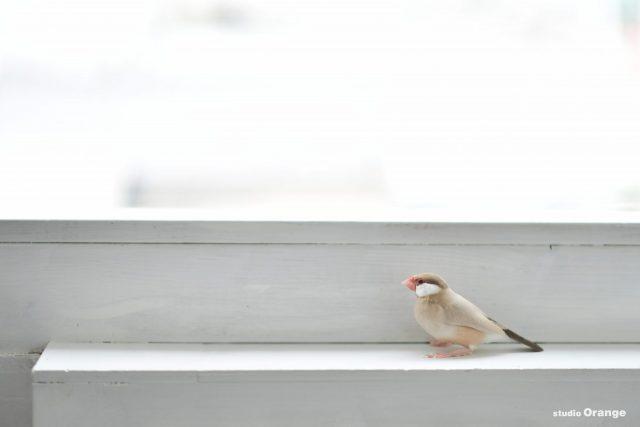 奈良県生駒郡 文鳥 ペット撮影 バードウォッチング