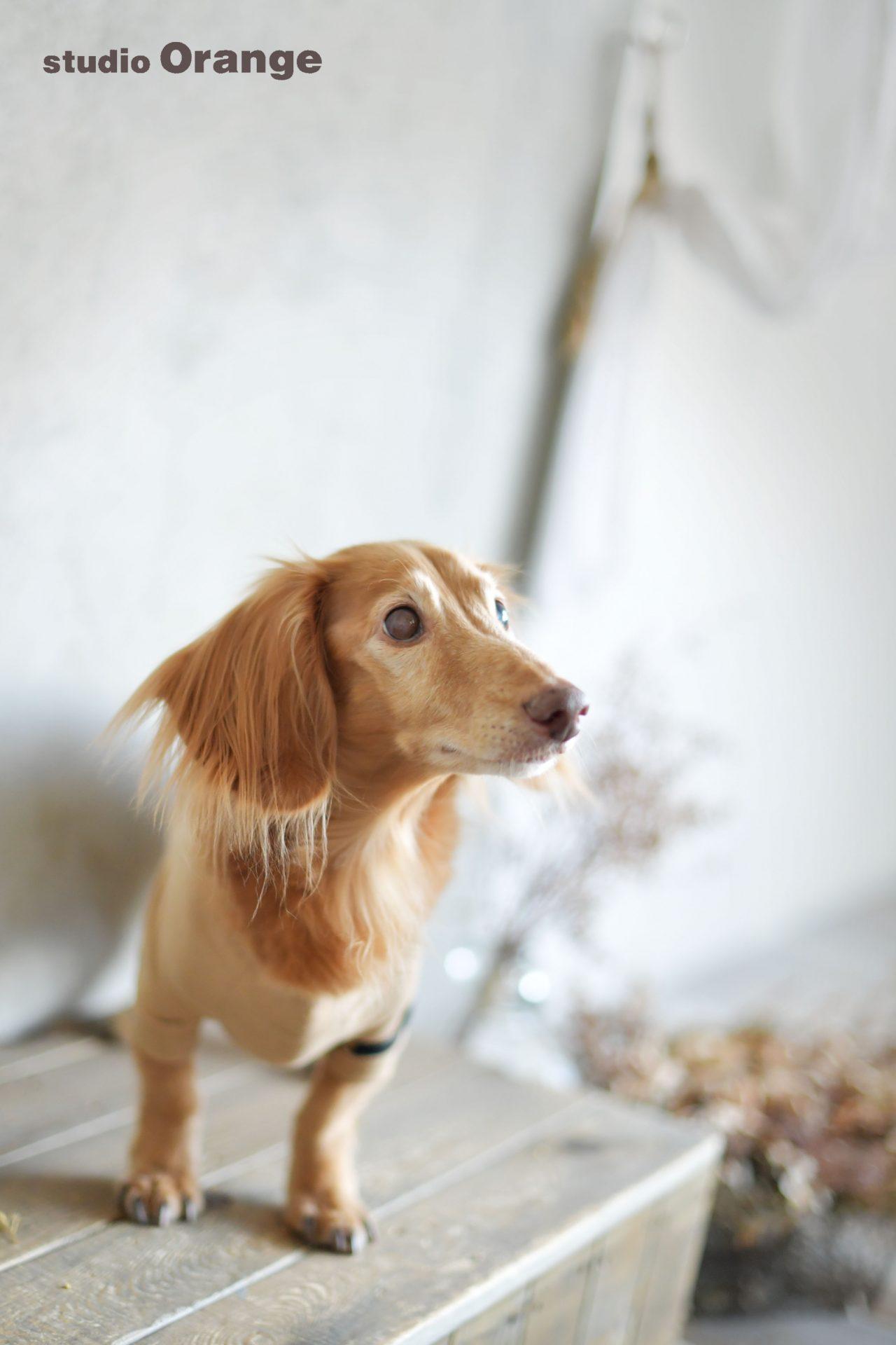 京都府 ミニチュアダックスフント 15歳 高齢犬