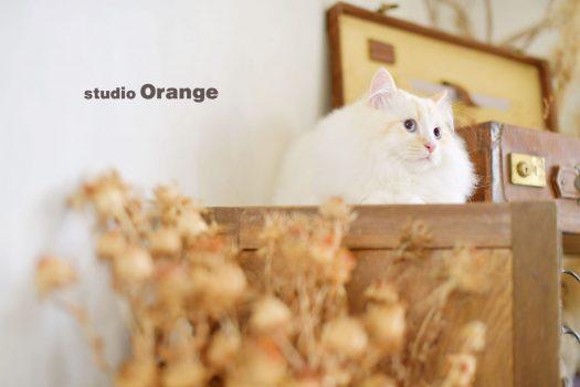 ペット 猫 ペットフォト 家族撮影 白猫 長毛種 奈良市 写真館 フォトスタジオ
