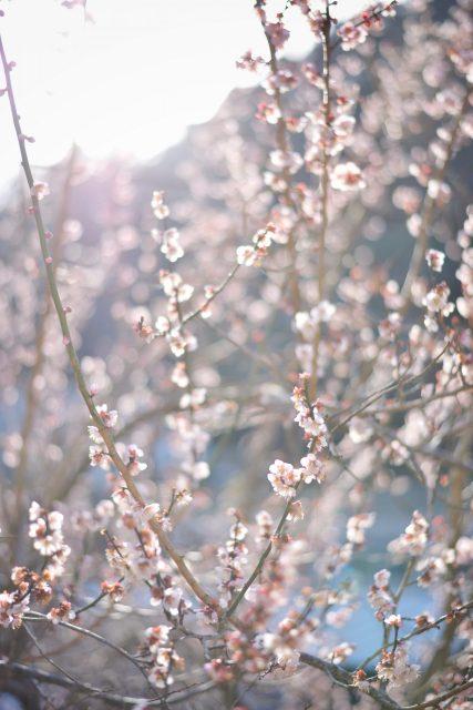 賀名生梅林 たくさん 梅の花