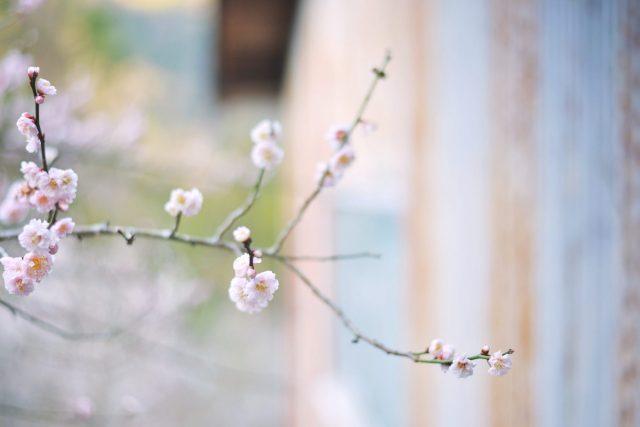 賀名生梅林 梅の花
