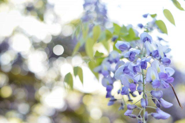 藤棚 藤の花